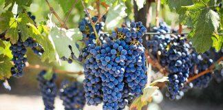 Crno grožđe