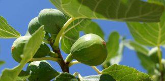 plod smokve i lišće
